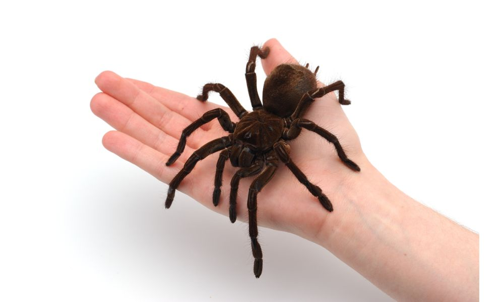 A Spider Pet Diet Does Not Include Humans