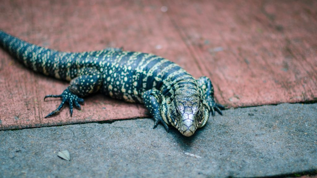 Best Giant Pet Lizards Argentine Black And White Tegu