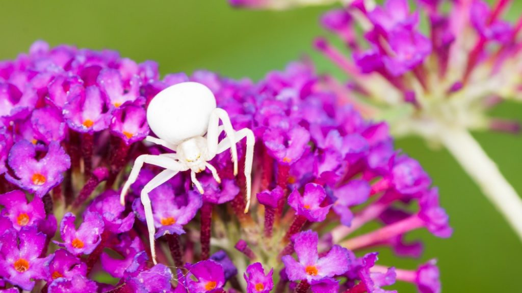 Crab Like Spiders Come In All Kinds Of Colors