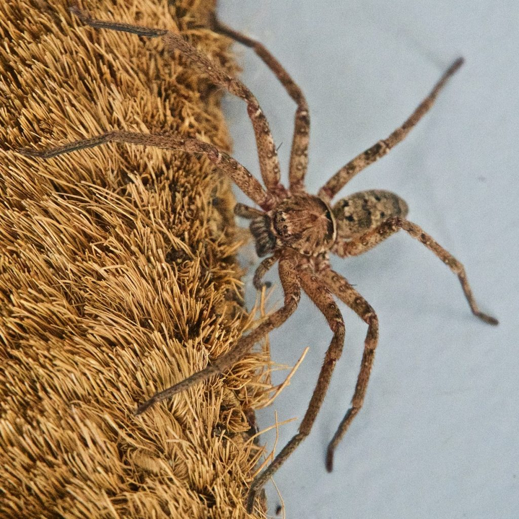 Everything You Need To Know About Huntsman Spiders