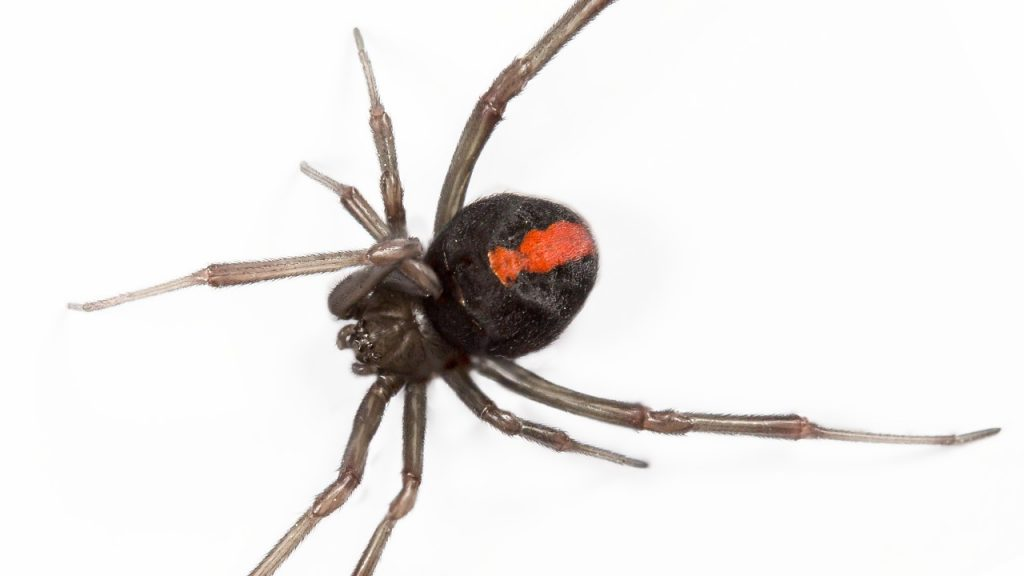 Everything You Need To Know About Redback Spiders As Pets