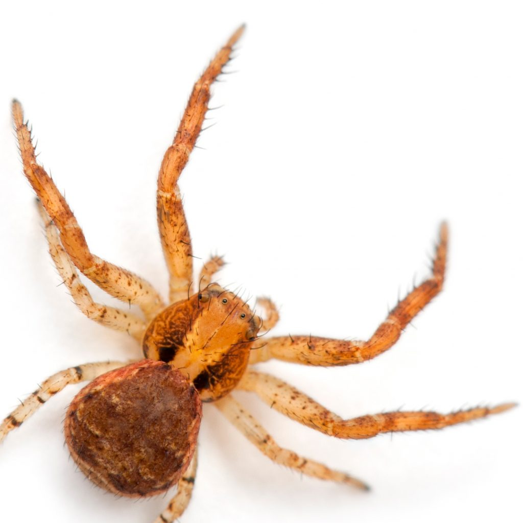 Everything You Need To Know About Pet Crab Like Spiders