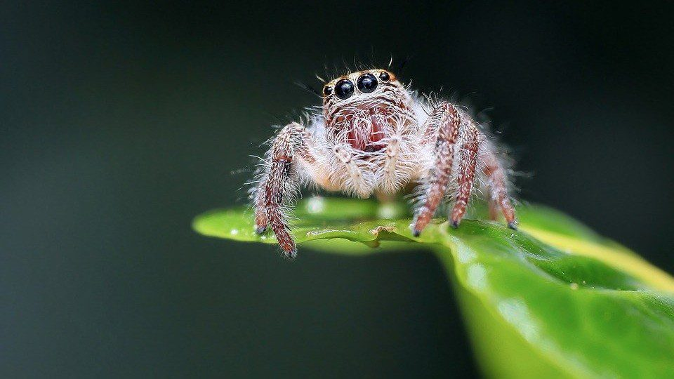 Interesting Spider Facts A Jumping Spider Can Jump Up To 50 Times Its Body Length