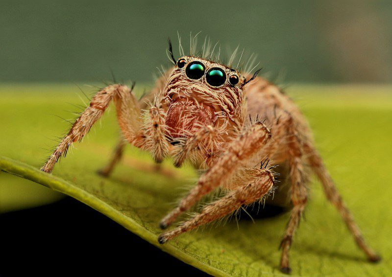 Is A Jumping Spider A Good Pet Spider?