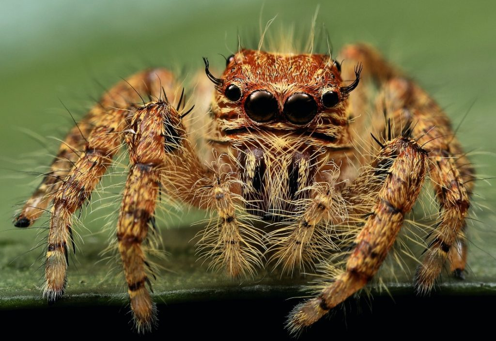 Jumping Spiders Are Good Pet Spiders Because Theyre Cute And Small