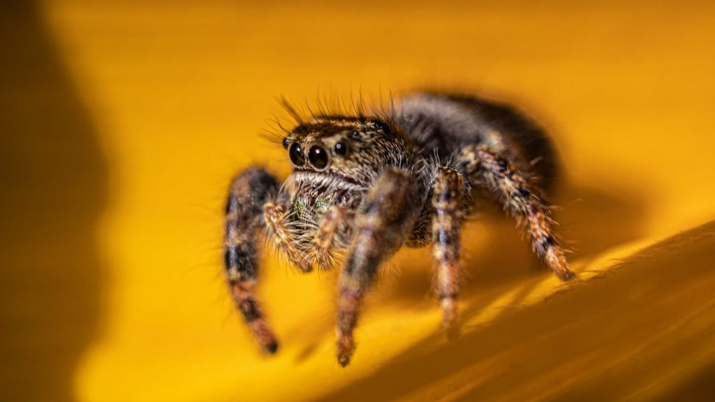 Jumping Spiders Are Great Pet Spiders