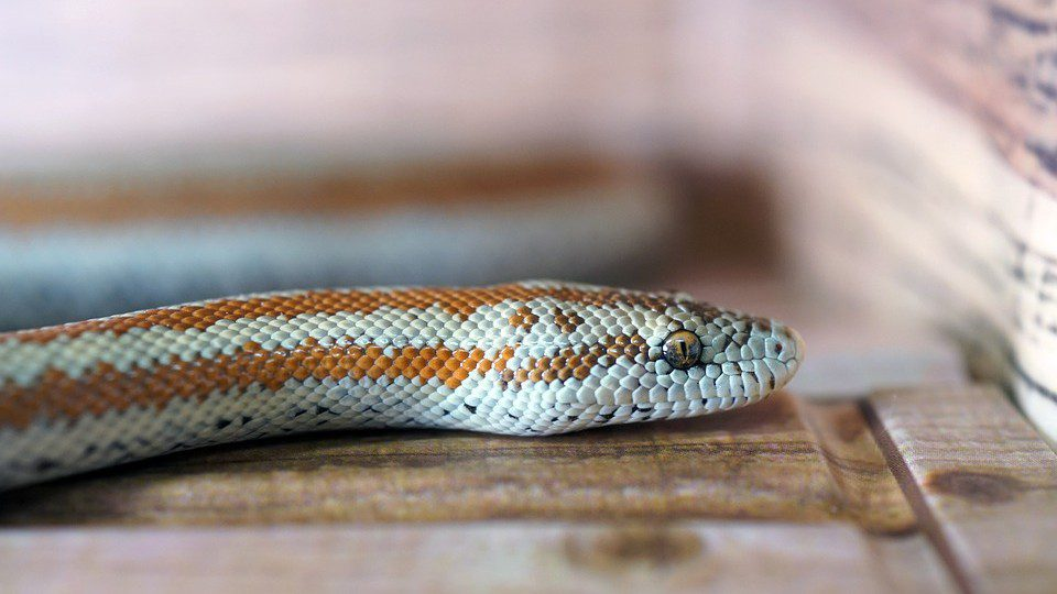 Obstructions Cause A Snake To Lose Its Appetite