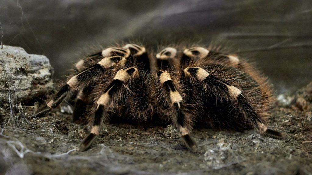 The Best Tarantula Species For A First Time Owner