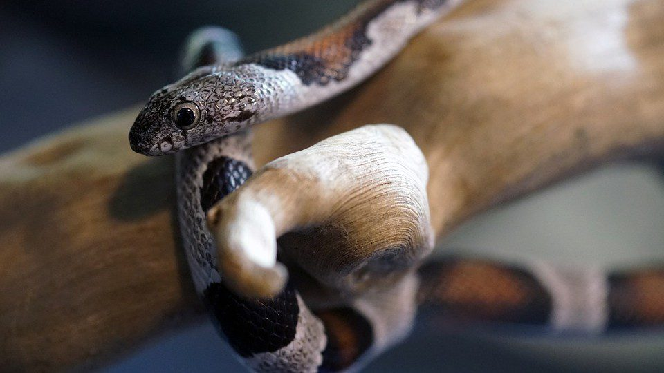 What Do I Do If My Pet Snake Is Not Eating?