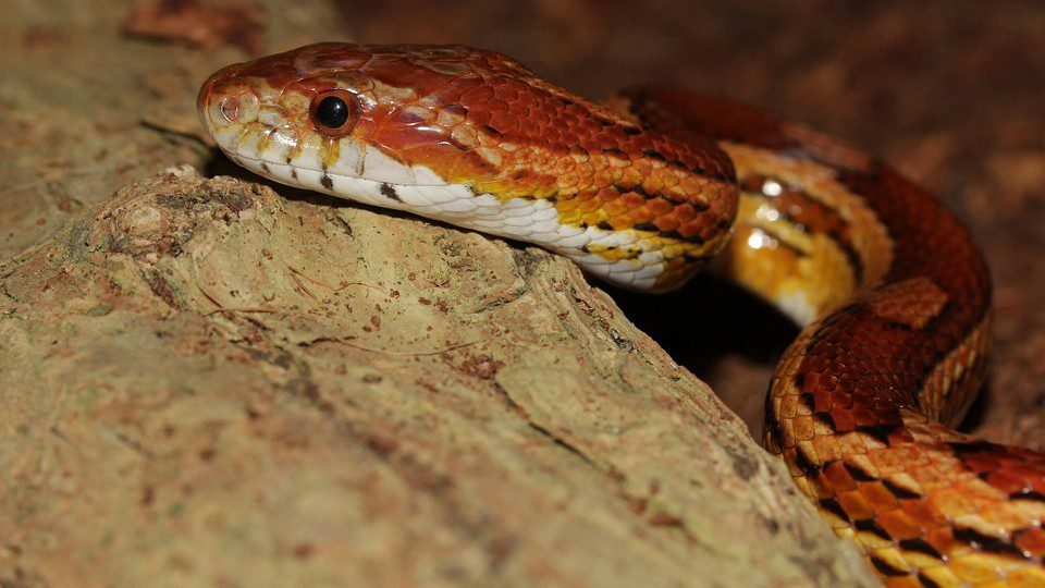What Is The Best Snake Pet In The World?