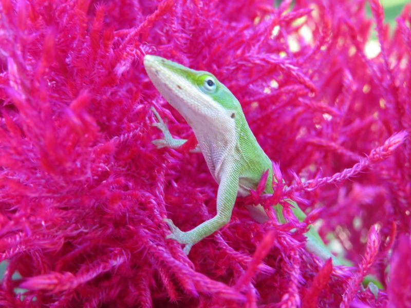 What You Need To Keep A Green Anole As A Pet Lizard