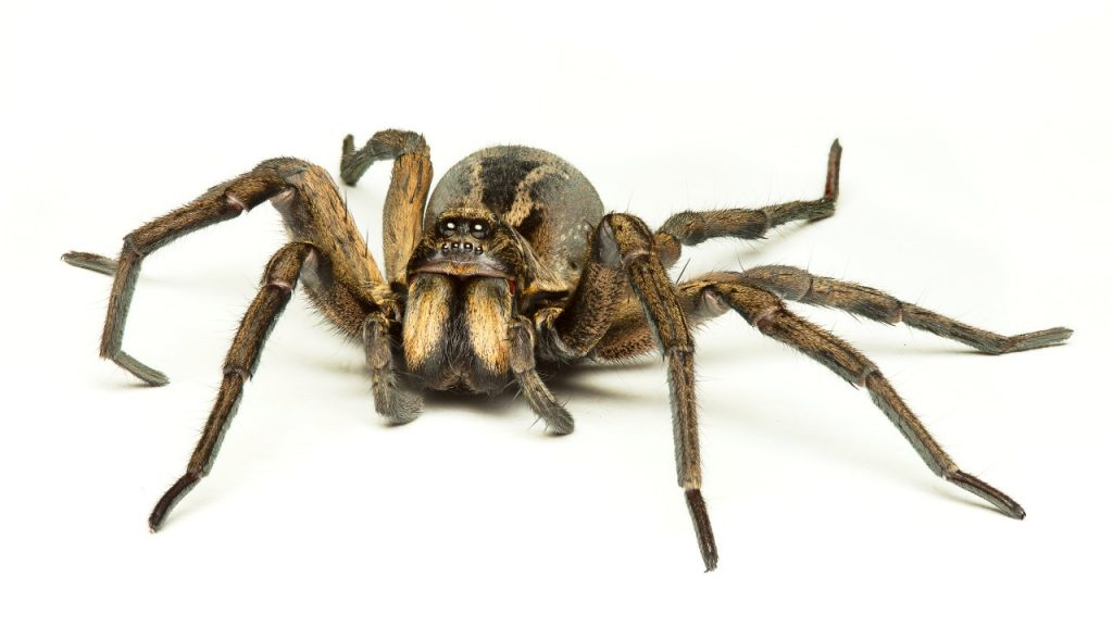 Wolf Spiders Are Good Pets Because They Adapt To A Lot Of Environments