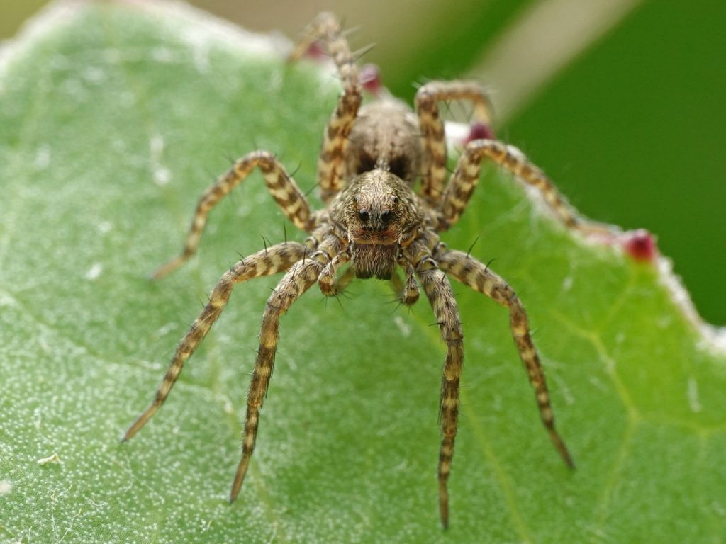 Wolf Spiders Are Similar To Brown Recluse Spiders, But Bigger And With Thicker Legs