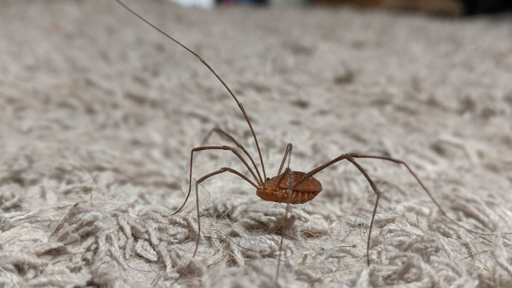 are daddy long legs spiders?