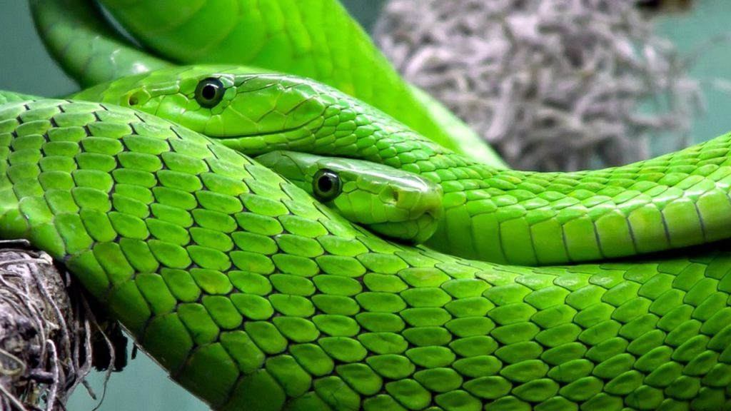 how to know if a snake is a male or female