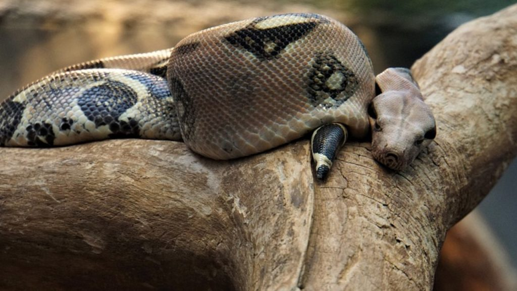 How to know the sex of a snake: Look at the tail