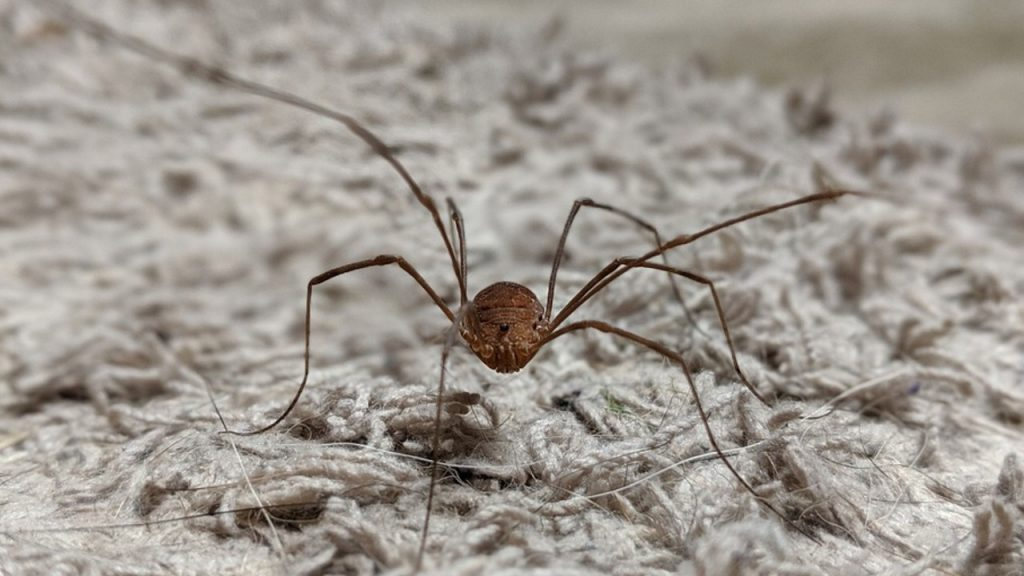 Is daddy long legs a spider species?