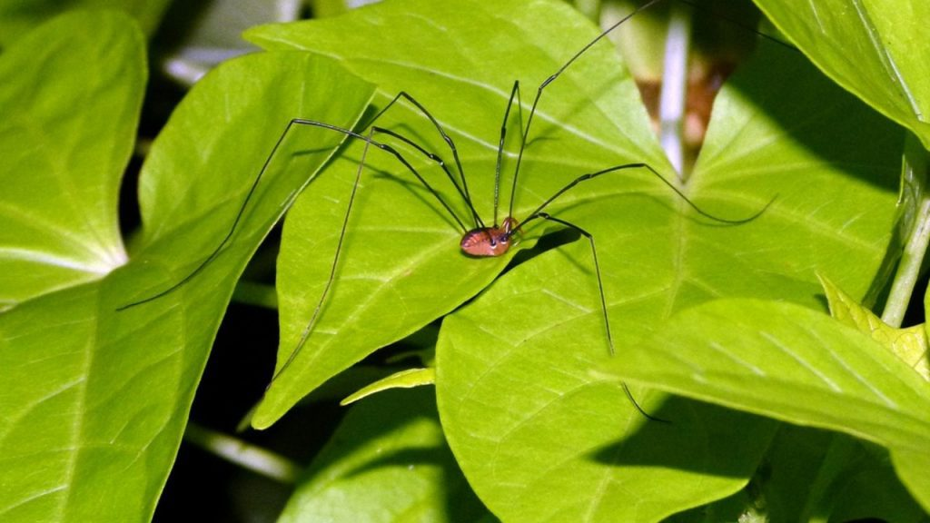 Is daddy longlegs a spider?
