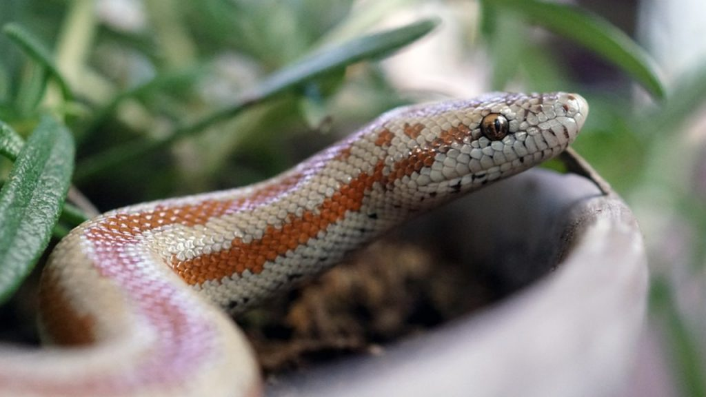 What do i do if my pet snake escaped?