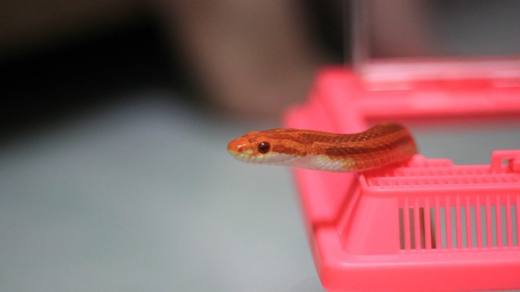 Why does a pet snake escape?